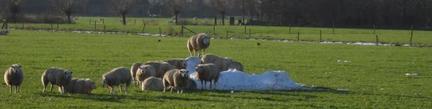 schapenmacht_klein.jpg